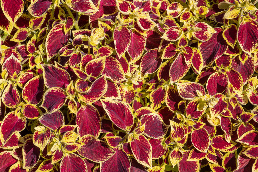 Purple and yellow leaves in pattern Abundance Close-up Flower Growth Leaf Leaves Pattern Plant Purple Red Spring Summer Yellow