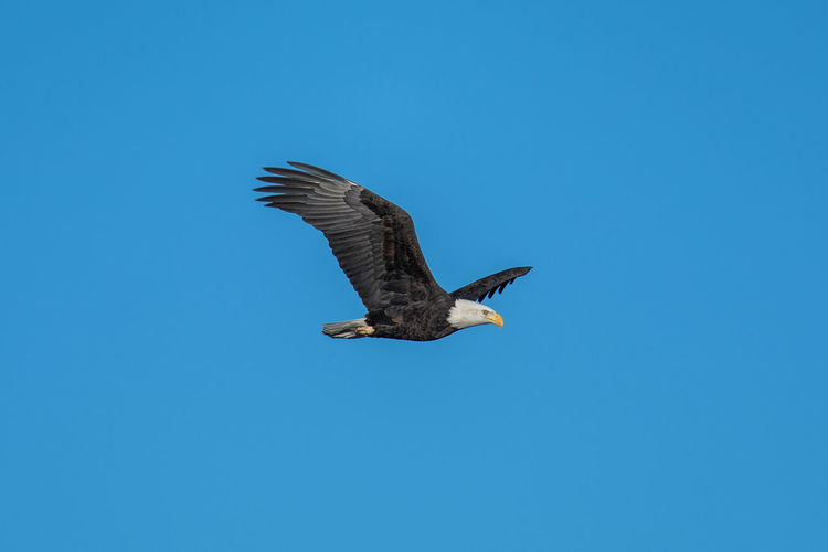 Animals In The Wild Animal Wildlife Flying Bird Animal Themes Vertebrate Animal One Animal Spread Wings Sky Clear Sky Copy Space Blue Low Angle View Mid-air No People Nature Day Motion Beauty In Nature Outdoors Eagle
