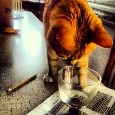 Cat Cute Pets Stud Life Drinking Water