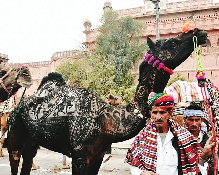Miles Away Rajasthani Culture Ship Of The Desert Animal Fares Indian Culture  Nagaur Nagaur India