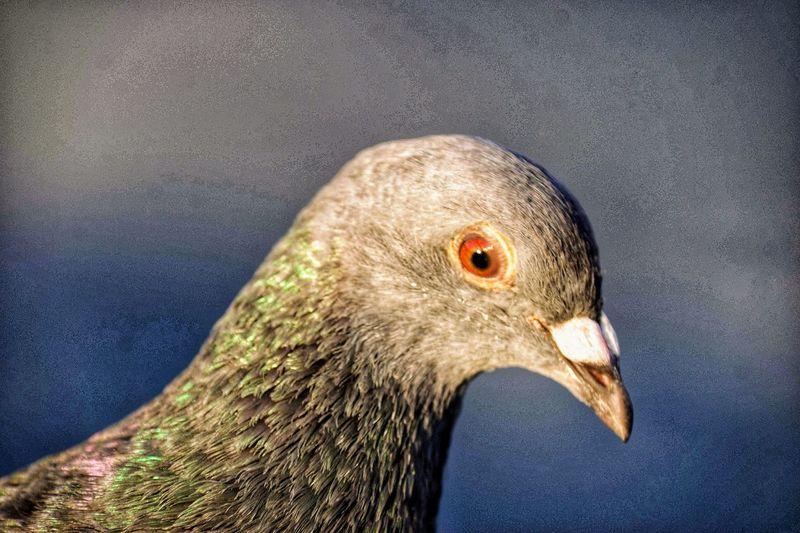 Pigeon 🕊