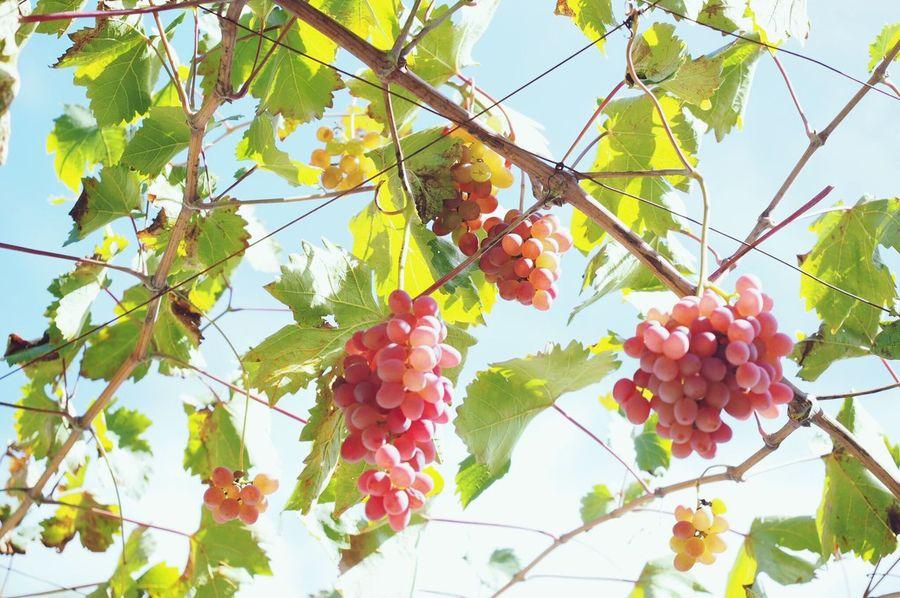 長野のブドウ‼︎ Grapes Grapefruit Tree Beauty In Nature Low Angle View Green Color Pink Color Sky Green Nature Outdoors Enjoying Life EyeEm Nature Lover EyeEm Best Shots Nagano