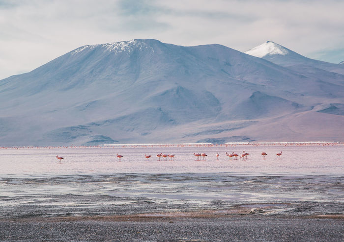 It's amazing to see the flamingos in their natural, unreal habitat. The lake is really shallow and they can get the shrimps out of there. Animals In The Wild Flamingo Tranquility Travel Uyuni Adventure Altiplano Animal Themes Bird Cloud - Sky Group Of Animals Laguna Colorada Lake Landscape Mountain Mountain Peak Mountain Range No People Non-urban Scene Outdoors Salt Flat Snowcapped Mountain Travel Destinations Water Wildlife Go Higher