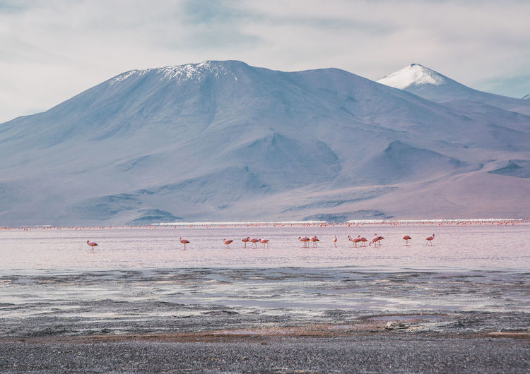 It's amazing to see the flamingos in their natural, unreal habitat. The lake is really shallow and they can get the shrimps out of there. Animals In The Wild Flamingo Tranquility Travel Uyuni Adventure Altiplano Animal Themes Bird Cloud - Sky Group Of Animals Laguna Colorada Lake Landscape Mountain Mountain Peak Mountain Range No People Non-urban Scene Outdoors Salt Flat Snowcapped Mountain Travel Destinations Water Wildlife Go Higher This Is Latin America Going Remote Visual Creativity The Great Outdoors - 2018 EyeEm Awards The Traveler - 2018 EyeEm Awards