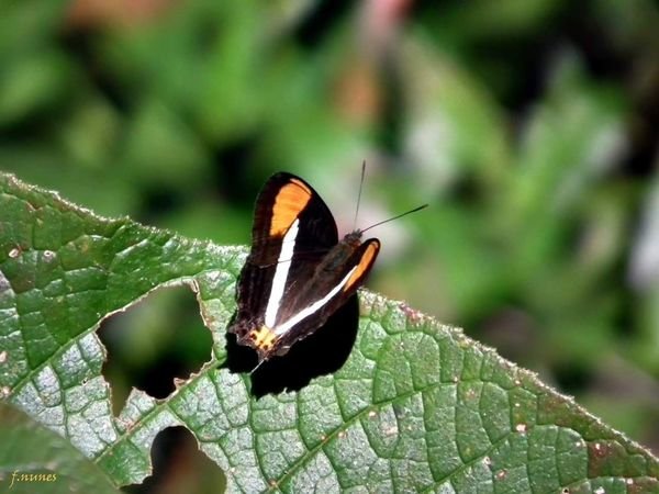 Insect Animal Themes Nature Beauty In Nature Butterfly - Insect Butterfly Fabricionunesfotografia Borboletas