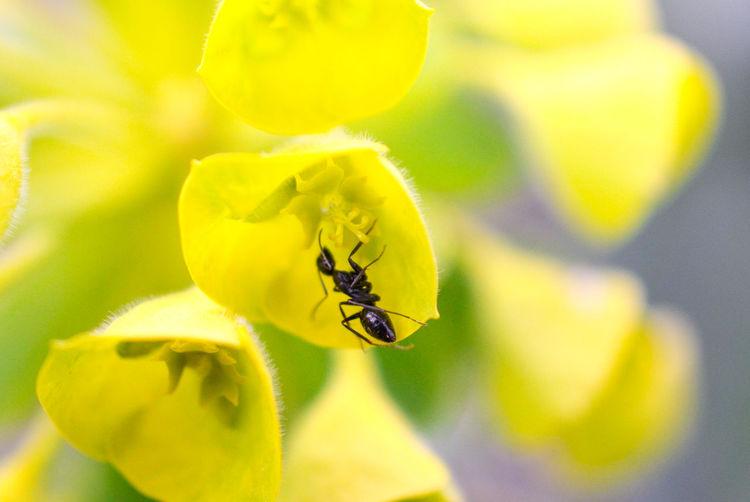 ant on a yellow flower Insect Ant Yellow Flower Macro Shallow DOF Pollen Spring Spring Flowers Freshness Small Petal Pistil Stamen Flowers Garden