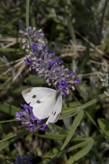 Walking in the garden Animal Themes Beauty In Nature Blooming Cabbage Butterfly Close-up Day Flower Flower Head Fragility Freshness Growth Lavender Flowers Nature No People Outdoors Petal Plant Purple