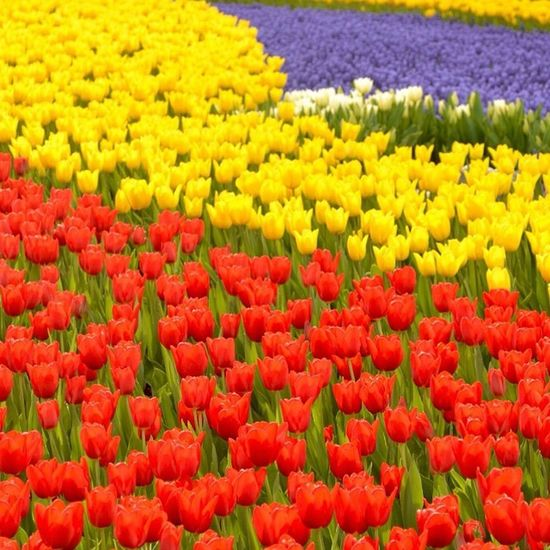 Istanbul Emirgan Park Koru tulip flower lale cicek bahar manzara nature color
