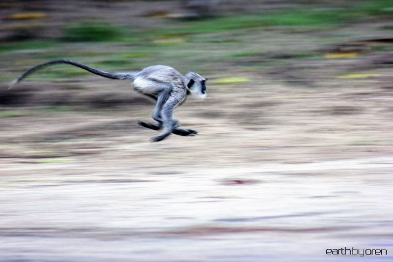 Blurred motion of monkey running