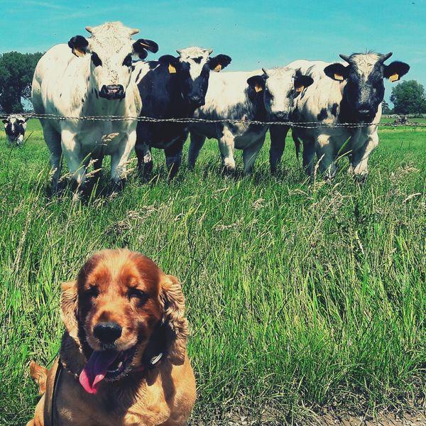 Dogs Of EyeEm Dogstagram Animal Photography Animals Dog Cow Cows Dogoftheday Dogs Pet Pets Dog Walking Cows Grazing Cows!!! Animal Dog Love Nature Nature_collection Nature Photography The Great Outdoors - 2017 EyeEm Awards