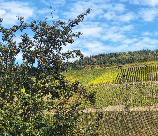 Moseltal Weintrauben Trauben Mosel Wine Vine Weintrauben Wein Landscape Plant Sky Growth Cloud - Sky Tree Beauty In Nature Nature Land Field Landscape Agriculture Day No People