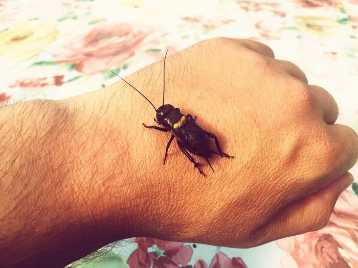 Cricket One Person Human Body Part Insect Human Hand One Animal Animal Themes Real People Animals In The Wild Human Finger Close-up Human Skin Day Outdoors People