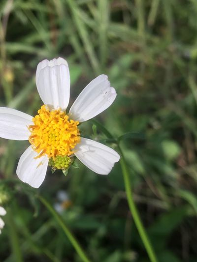 Flower Petal Fragility Growth Flower Head Plant Nature Freshness Blooming Beauty In Nature Pollen Insect No People Focus On Foreground Close-up Yellow Outdoors Day Daisy Paint The Town Yellow