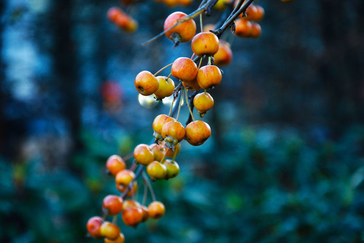 A branch with frozen unripe berries in the early morning