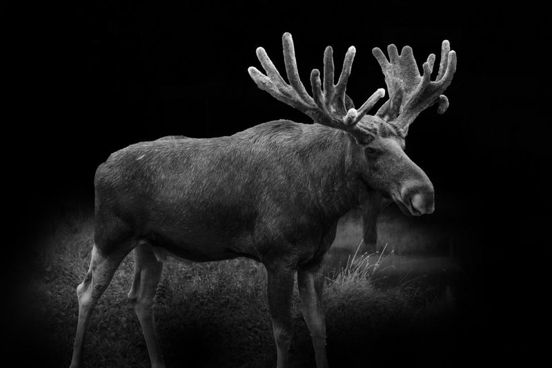 Digital composite image of moose standing on field