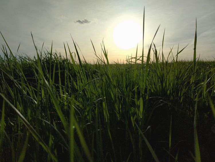 Growth Nature Outdoors Cereal Plant No People Rural Scene Agriculture Grass Sunset Beauty In Nature Day Sky Close-up