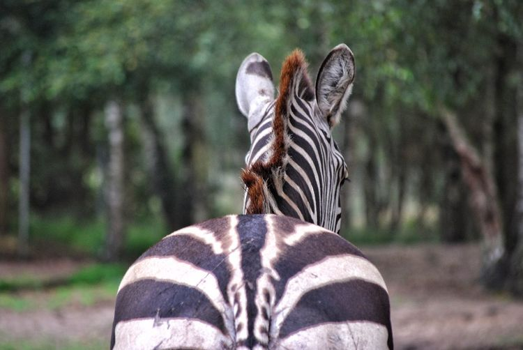 Close-up of zebra in forest