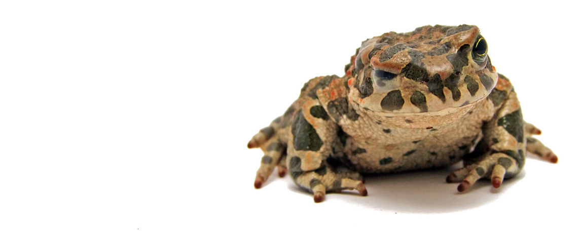 European green toad winking in white background Bufo Viridis Funny Green Color Lithuania Toad Anura Close-up Dry Europe Eye Lightbox One Animal Studio Shot White Background