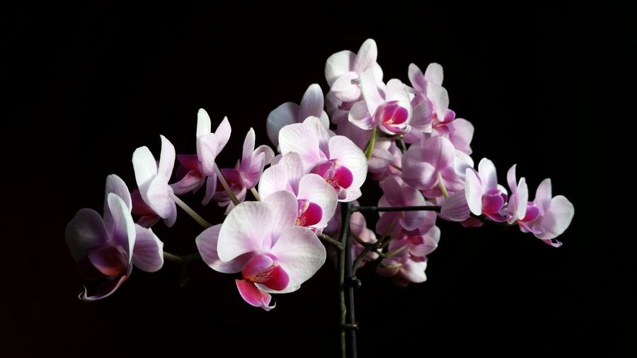 Close-up of pink orchids against black background
