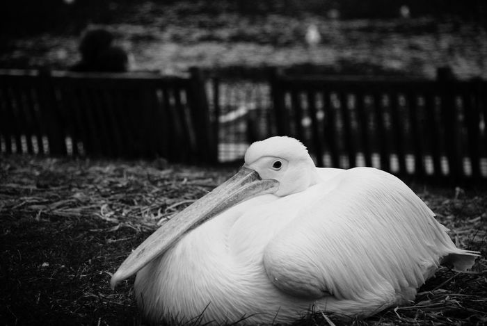 Beak Close-up Monochrome No People Outdoors Park Pelican St James Park London  Urban Animals Fresh On Eyeem