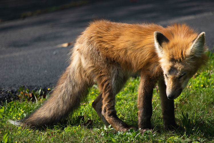 Baby fox waking up from a nap! Fox Cute Animals Cute Animals Foxes Orange Red Fox Nature Nature_collection Nature Photography Natural Light Canon Baby Baby Fox Young Squinty Fur Pup Grass Close-up
