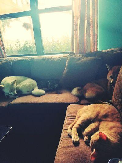 Nape zone! Shiba Inu Cats Couchpotatoes