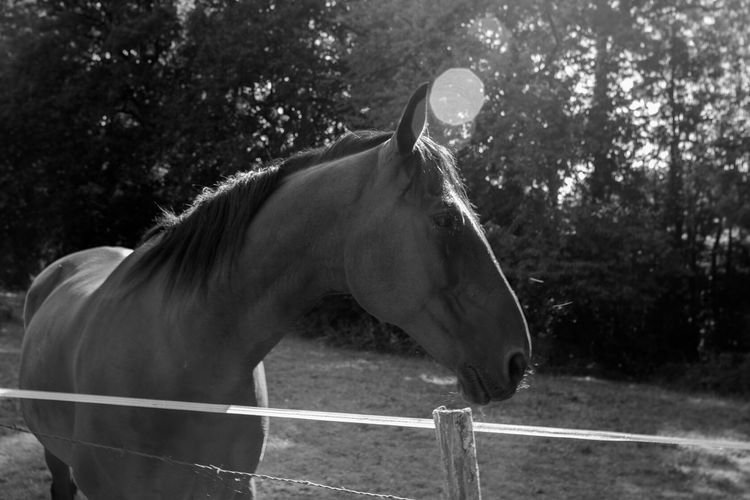 Horse Domestic Animals Mammal Animal Themes One Animal Herbivorous No People Tree Outdoors Day Paddock Livestock Nature Standing Close-up Blackandwhite Photography Blackandwhite Black And White