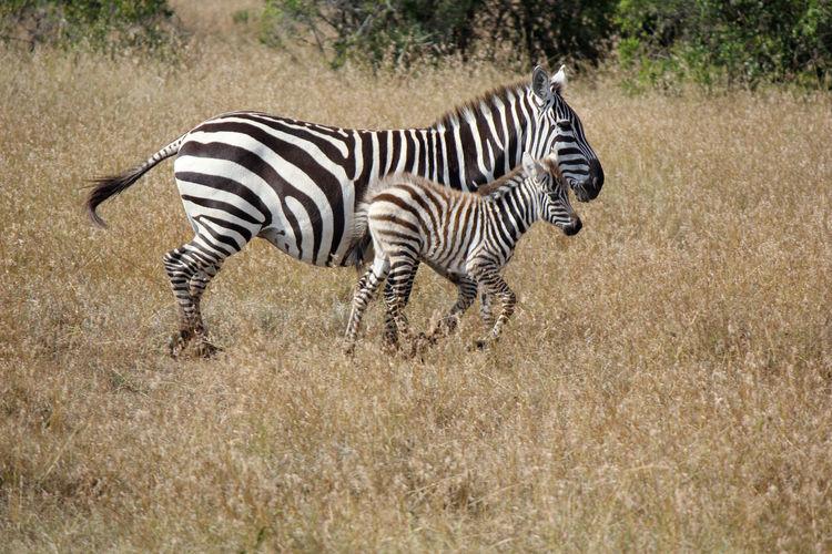 Side View Of Zebras Running On Field