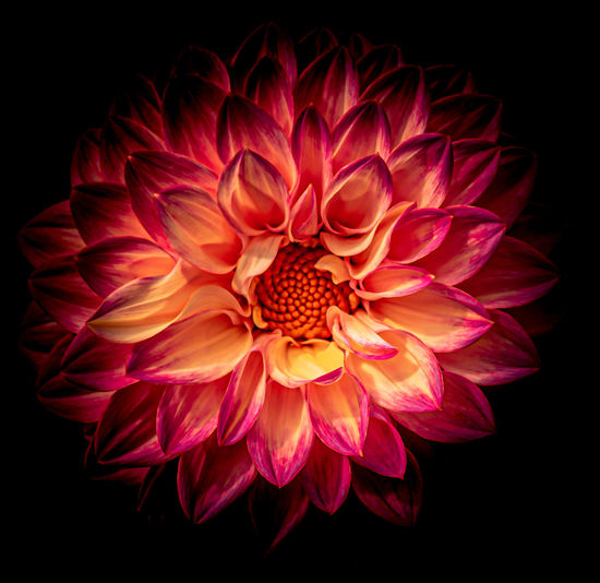 Close-up of red dahlia over black background