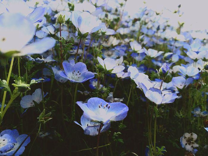 ひたち海浜公園 ネモフィラ Flower Nemophila Park