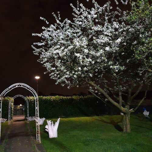 View of white flowering plants in park at night