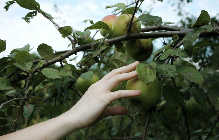 Hand Apple Apple Tree Nature Ukraine Leaves Photo Canon