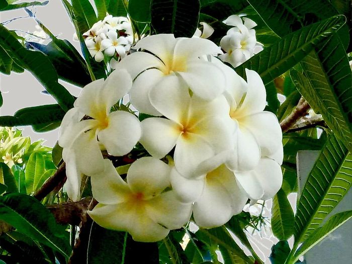 Frangipani Flower Growth Beauty In Nature Nature Fragility Freshness Petal Flower Head White Color Close-up Plant Blooming Day No People Outdoors White Flower Flowers, Nature And Beauty (null)Freshness