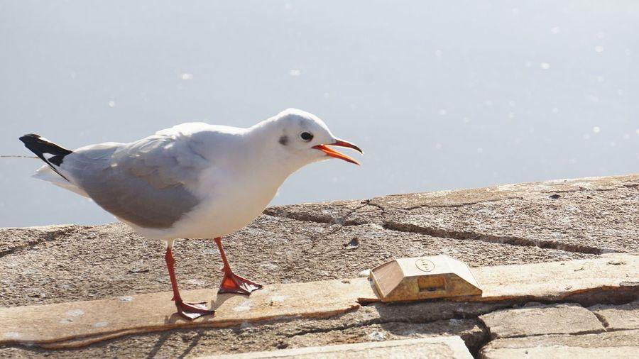 鸥 Bird Vertebrate Animals In The Wild Animal Wildlife Seagull One Animal Nature