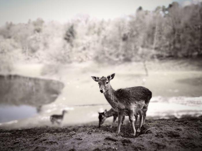 Wildlife Wildlife Park Wildlife & Nature Wildlife Photography Deer Deers Deer Moments EyeEm Selects Water Wilderness Deer Fawn