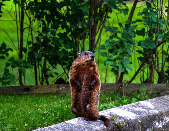 Varmints Ground Hog Animals Nature Springtime EyeEm Nature Lover
