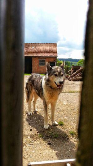 Dog Husky Day Animal Themes Domestic Animals One Animal Mammal No People Outdoors Pets Sky Nature