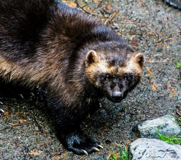 Wolverine Northwest Trek Wildlife Washington