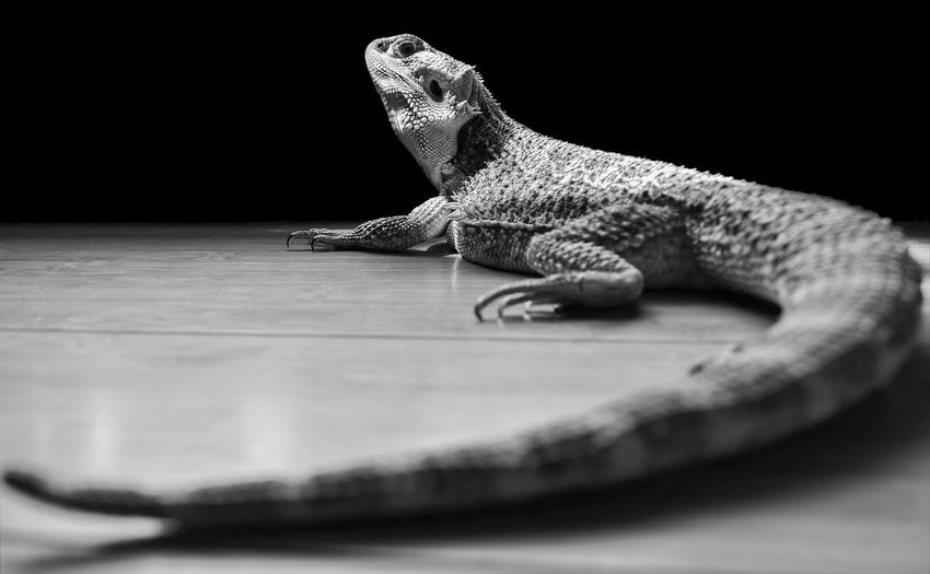 Close-up of a lizard on table