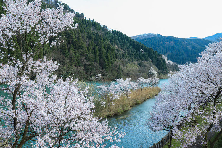 Scenic view of cherry blossom by trees against sky
