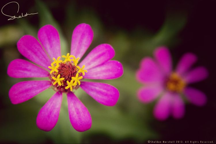 A pair of pink. Eye4photography  NEXTshotPhotos Bokeh Flowers