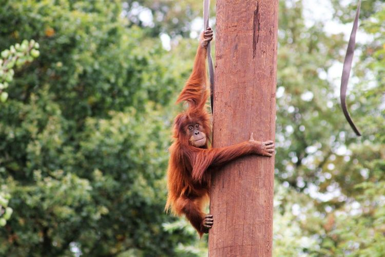 Tree hugging....😁 Animal Themes For Anyone Whos Interested Nature Photography Beauty In Nature Beautiful Nature Having Fun Check This Out Chester Zoo Zoo Animals  Zoophotography Tree Climbing Close-up Orangutan Primate