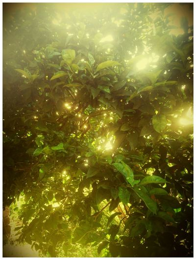 Lemon Tree Sun Reflection EyeEm Nature Lover Nature Collection