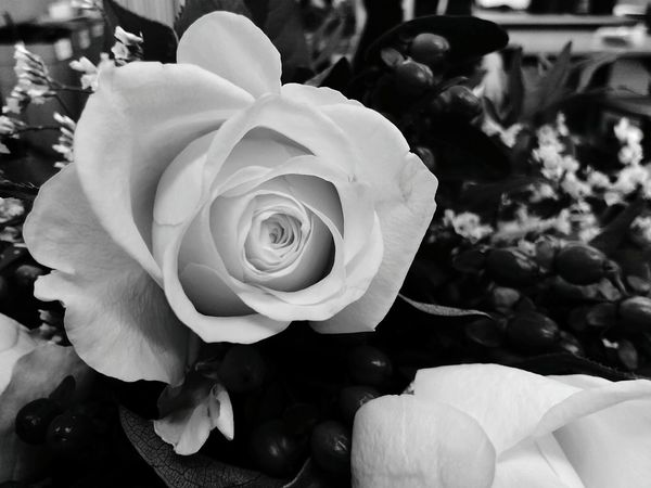 Flower Close-up Rosé Blooming Black & White