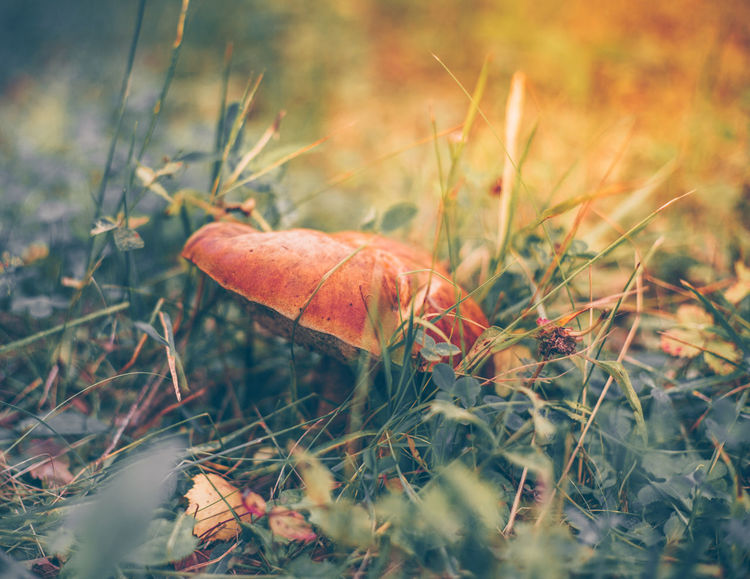 Mushroom, close-up, sunny meadow, tinting Mushrooms 🍄🍄 Summertime Sunnyday☀️ Tinting Autumn Beauty In Nature Close-up Day Food Grass Macro Meadow Mushroom Nature No People Outdoors Plant Synnyday Vegetable Vulnerability