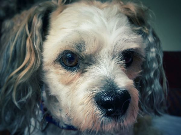 Dog Pets One Animal Looking At Camera Domestic Animals Animal Themes Mammal Portrait Close-up No People Indoors  Day