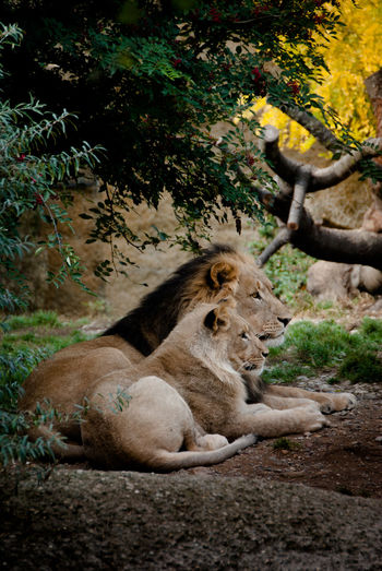 Lion with lioness sitting on field