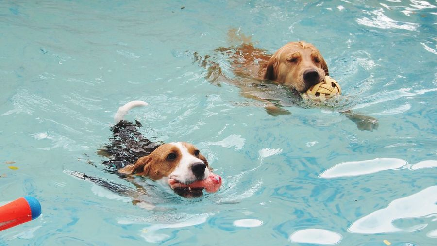 Jack russell terrier and labrador swimming in pool