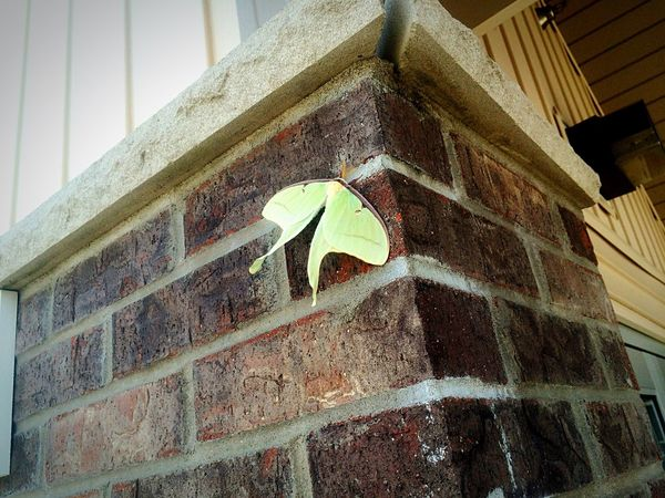 First time ever seeing a moth like this! Beautiful! Moth Green Brick Wall Firsts