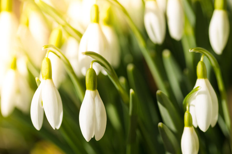 Close-up of snowdrops blooming outdoors
